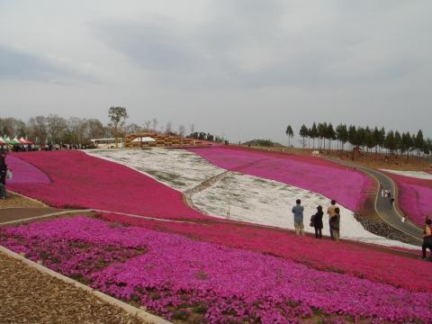 日本一の芝桜