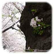 幹から顔を出す桜