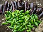 本日の収穫野菜