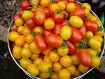 バケツいっぱいのトマト