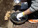 芋植え準備